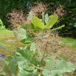 Cotinus Old Fashionned (2)