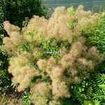 Cotinus Young Lady (2)