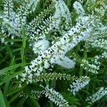 Hebe salicifolia (5)