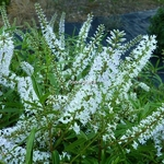 Hebe salicifolia (4)