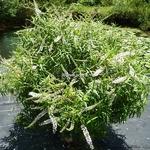 Hebe salicifolia (3)