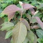 Hydrangea aspera Villosa Hot Chocolate (2)