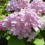 Hydrangea macrophylla Belle Séduction (5)