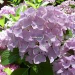 Hydrangea macrophylla Belle Séduction (6)