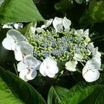 Hydrangea macrophylla Blanc Bleu (3)