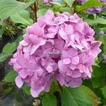 Hydrangea macrophylla Bloomstar (2)