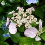 Hydrangea macrophylla Camino (1)