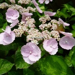 Hydrangea macrophylla Camino (2)