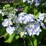 Hydrangea macrophylla Emotion (1)