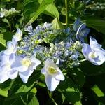 Hydrangea macrophylla Emotion (2)