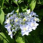 Hydrangea macrophylla Emotion (3)