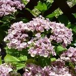 Hydrangea macrophylla Etanin (5)