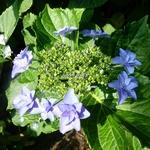 Hydrangea macrophylla Etoile Violette (2)