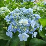 Hydrangea macrophylla Forever (1)