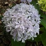 Hydrangea macrophylla Inspire (4)