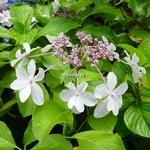 Hydrangea macrophylla Miharayama Yae