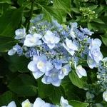 Hydrangea macrophylla Passion (1)