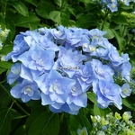 Hydrangea macrophylla Passion (2)