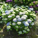 Hydrangea macrophylla Tovelit (2)