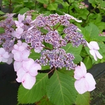 Hydrangea macrophylla Twist & Shout (4)