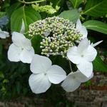 Hydrangea macrophylla Veitchii (1)