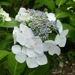 Hydrangea macrophylla Veitchii (2)