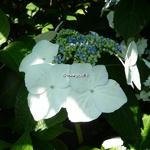 Hydrangea macrophylla Veitchii (4)