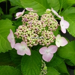 Hydrangea macrophylla Dart's Song Bird (3)