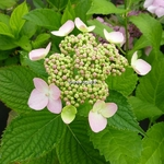 Hydrangea macrophylla Darts Song Bird (1)