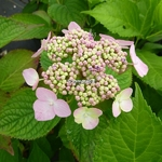Hydrangea macrophylla Darts Song Bird (2)