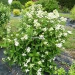 Hydrangea paniculata Daruma (5)