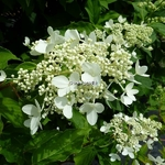 Hydrangea paniculata Praecox (1)