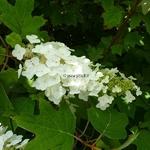 Hydrangea quercifolia Alice