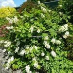 Hydrangea quercifolia Alice (2)