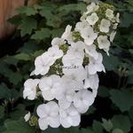 Hydrangea quercifolia Snowqueen