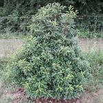 Prunus lusitanica (2)