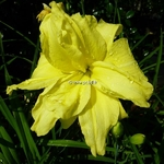 Hemerocallis Double River Wye (3)
