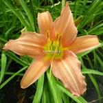 Hemerocallis Luxury Lace (1)