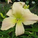 Hemerocallis Wedding Band (1)