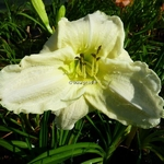 Hemerocallis White Temptation (2)