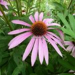 Echinacea Pink Parasol (2)