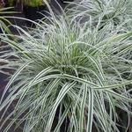 Carex oshimensis Albomarginata (2)