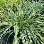 Carex oshimensis Albomarginata