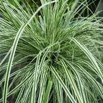 Carex oshimensis Albomarginata (3)