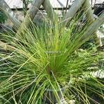 Carex testacea (2)