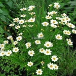 Coreopsis Star Cluster (3)