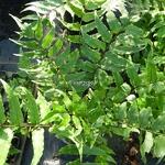 Cyrtomium fortunei (2)
