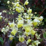 Epimedium versicolor Sulphureum (2)
