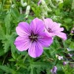 Geranium Patricia (1)