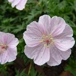 Geranium sanguineum Striatum (1)